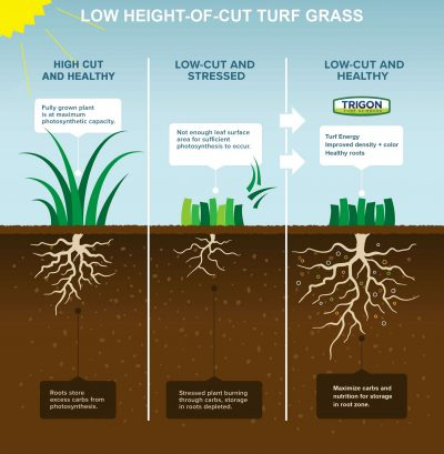 Low Height of Cut Turf Grass